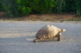 Straße im Addo Elephant National Park mit Schildkröte