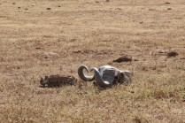 Büffelkopf-Skelett im Addo Elephant National Park