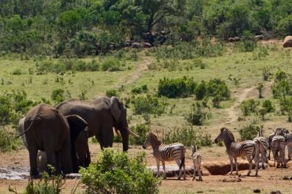 Zebras und Elefanten im Addo Elephant National Park