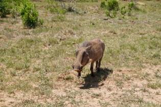 Warzenschwein in der Sonne im Addo Elephant National Park