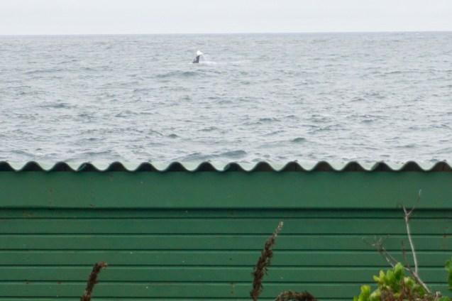 Man kann Wale in Südafrika sehen