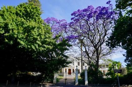 Blühender Baum in Südafrika