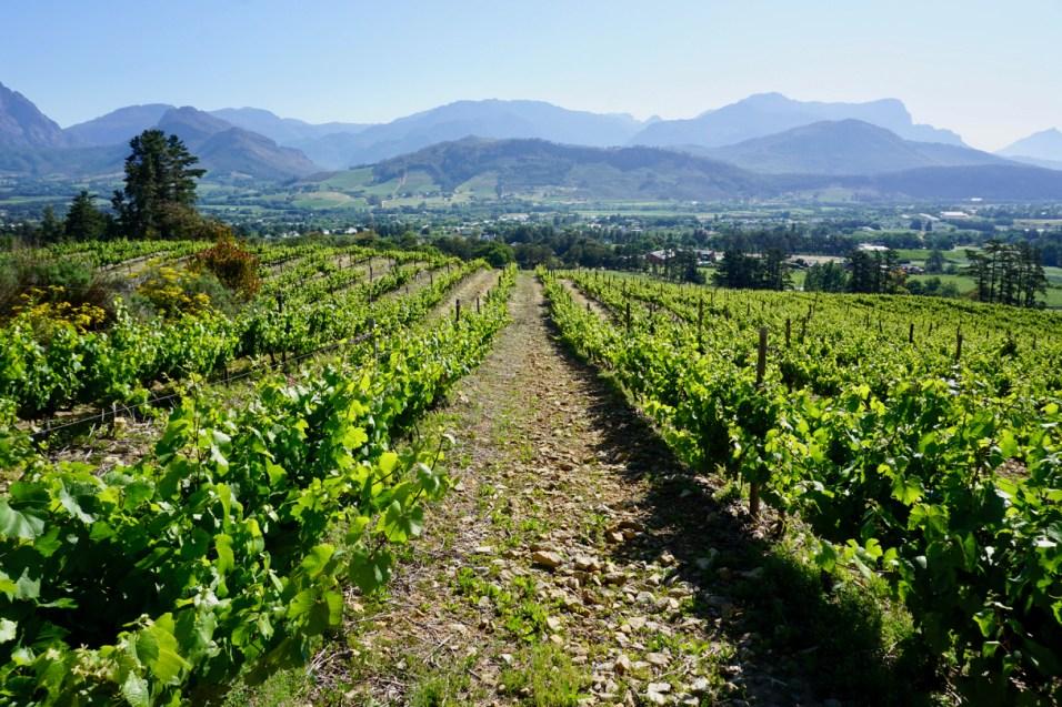 Weinreben in Franschhoek