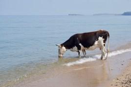 Kuh am Strand