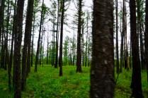 Lärchenwald in Sibirien