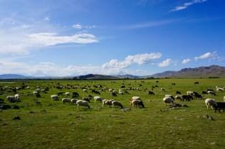 Mongolische Schaf- und Ziegenherde