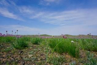Im August blüht der Schnittlauch in der Mongolei