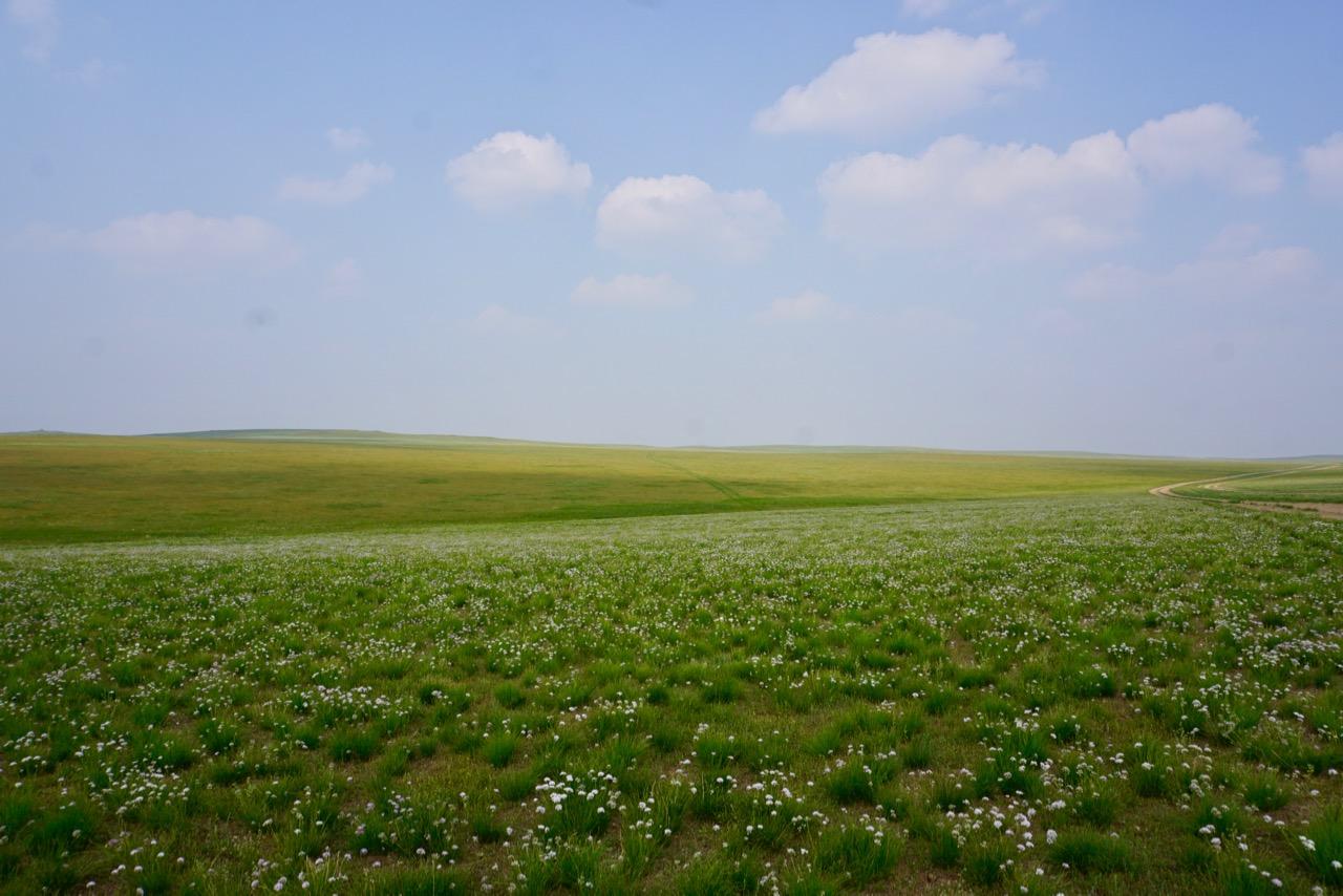 Schnittlauch wächst in der Gobi-Wüste