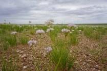 Schnittlauch in der Gobi-Wüste