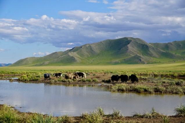 Yaks in der Nordmongolei