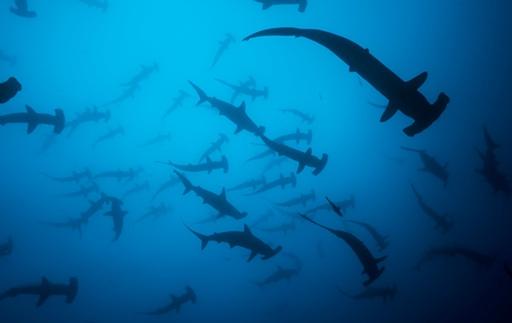 2013-04-05_cocos_hammer-shark_foto-felipe.jpg