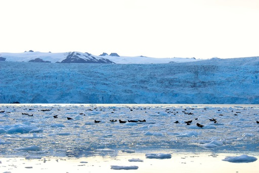 2013-08-14_alaska-whittier_glacier seals.JPG