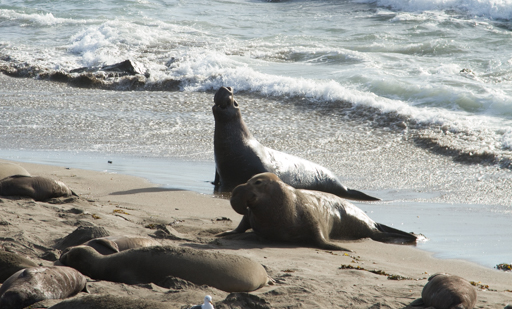 2015-02-11_usa-hwy1-california_elephant-seal-close-up.jpg