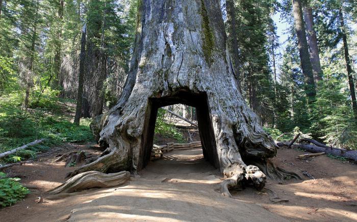 tuolumne-grove-of-giant-sequoia-in-yosemite-pierre-leclerc.jpg