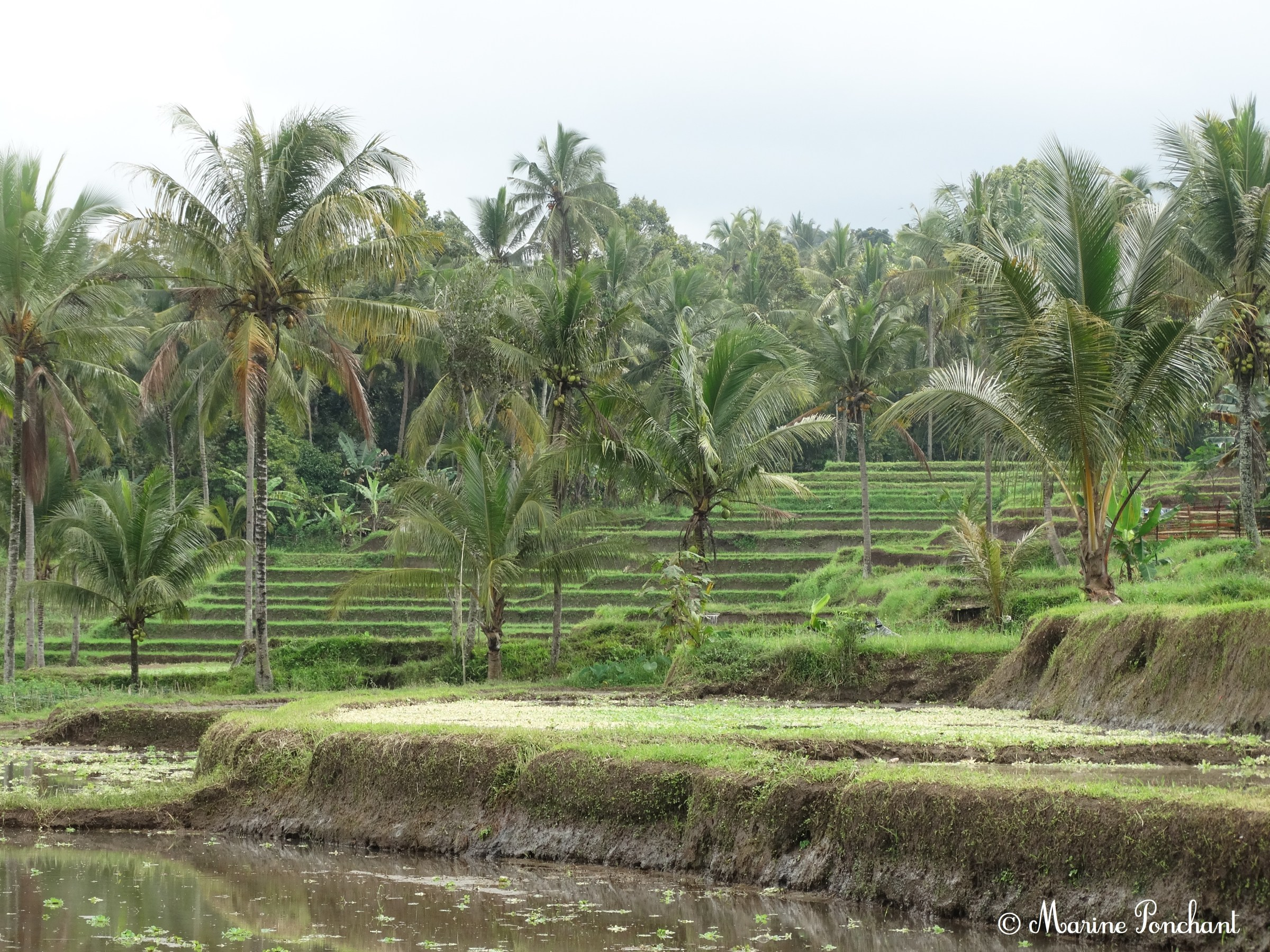 Les belles rizières d'Indonésie
