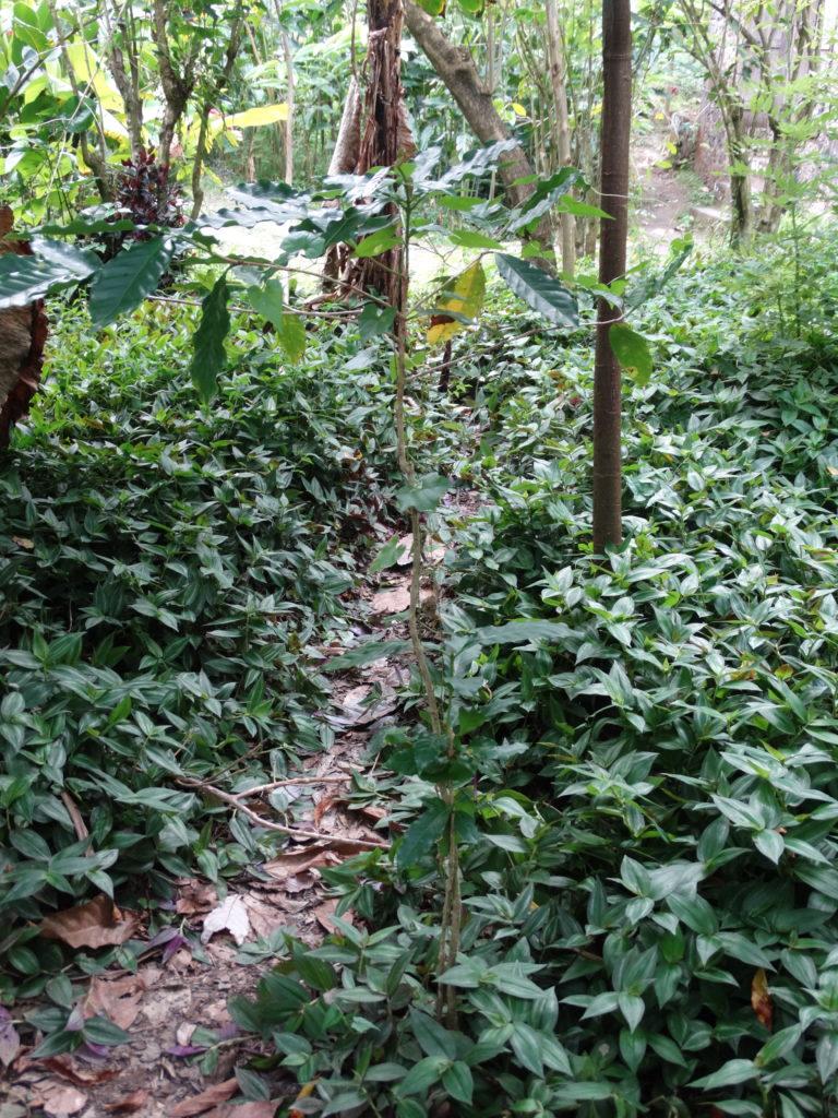 Caféier guadeloupe plantation