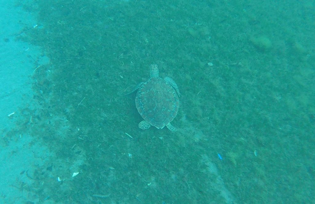 tortue marine guadeloupe