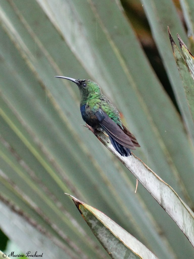 Colibri vert et bleu