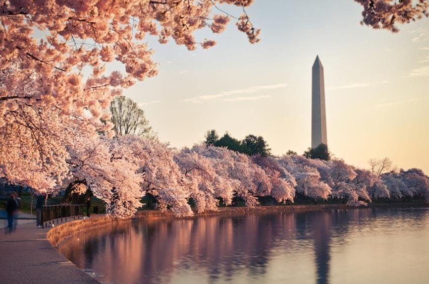 Washington Spring beauty