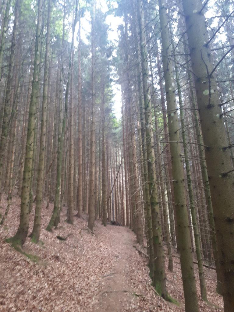 Sentier dans les pins