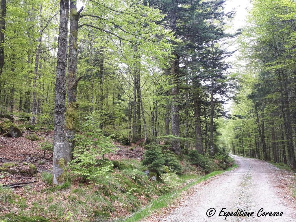 Chemin pédestre en pleine forêt des Vosges