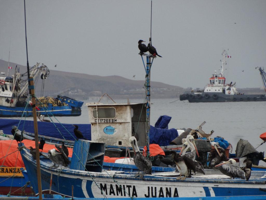 Pélicans sur les bateaux de pêches