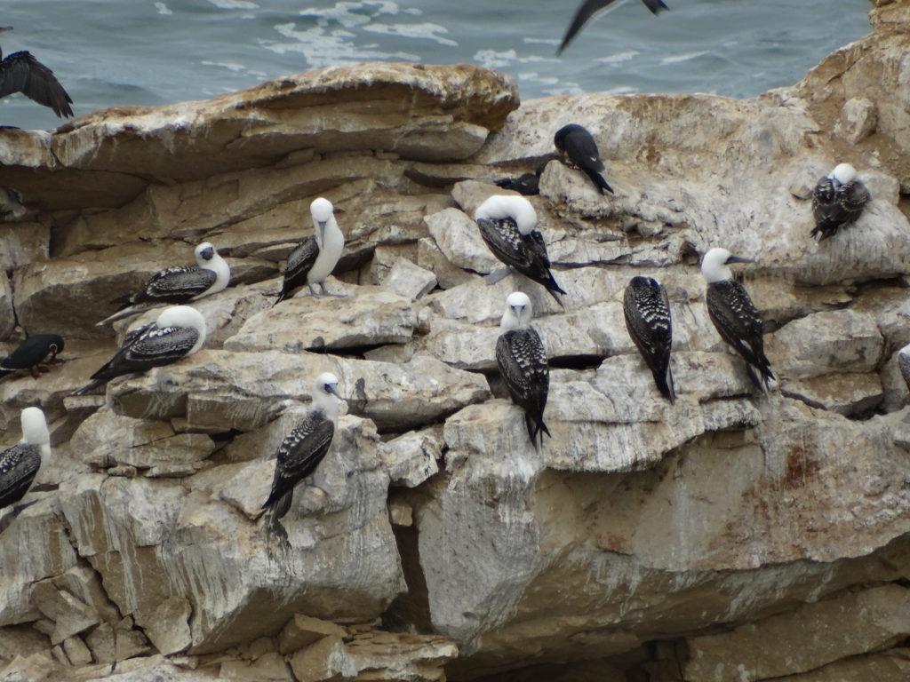 Oiseaux nicheurs Paracas