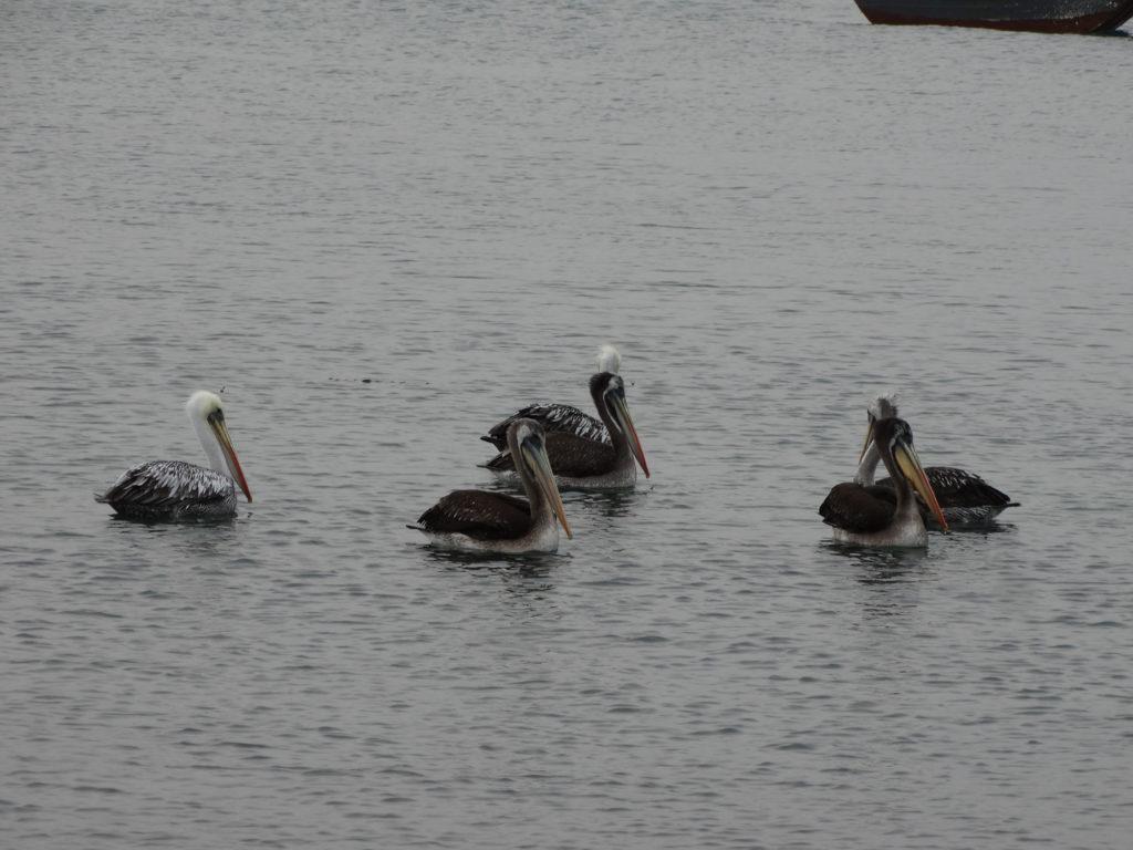 Pélicans noirs sur l'eau