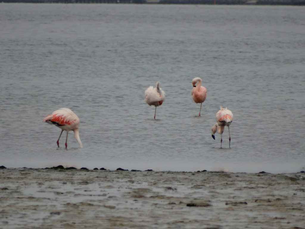 Flamants roses Paracas