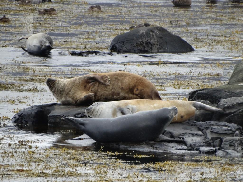 Repos des phoques islandais