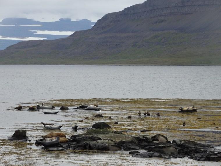 Colonie d'animaux marins, Islande