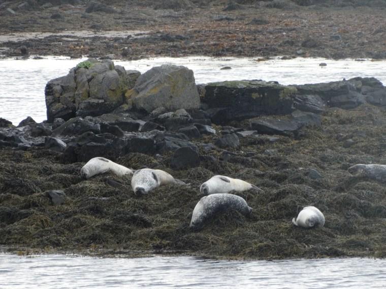 Phoques de la péninsule de Vatnsnes