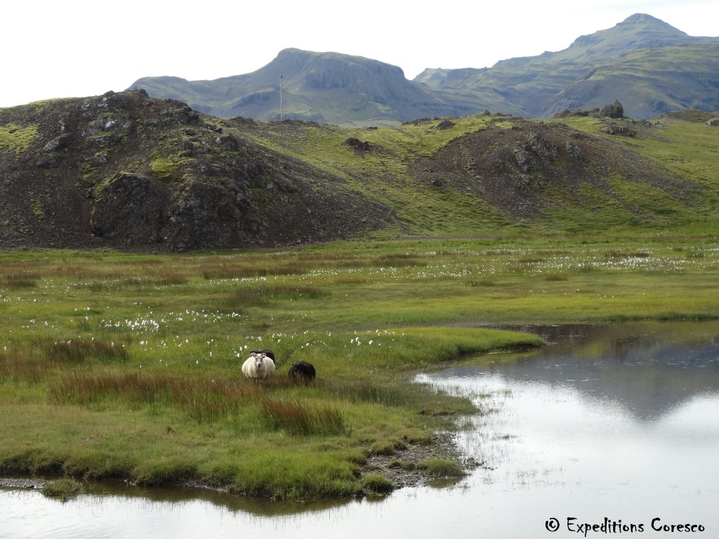 Animaux d'élevage, Islande