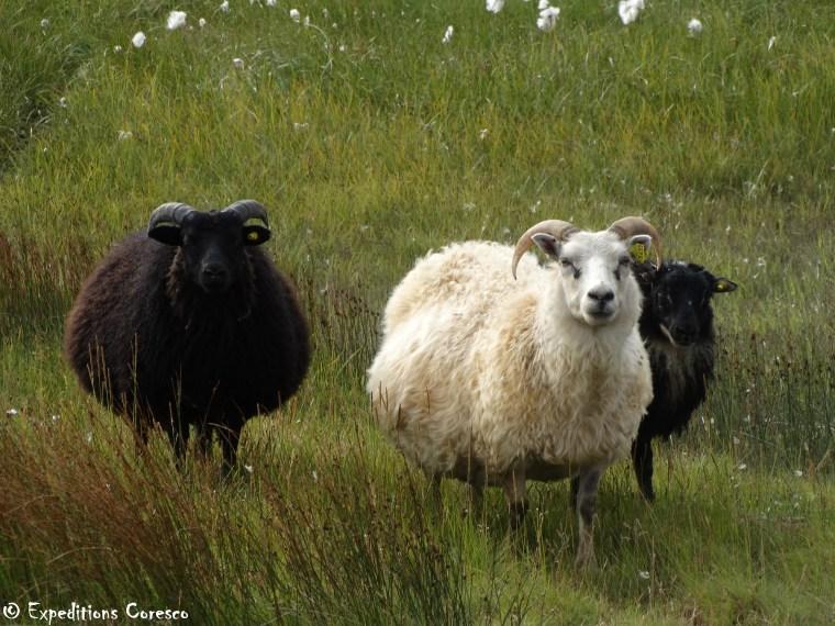 Maman mouton et ses agneaux
