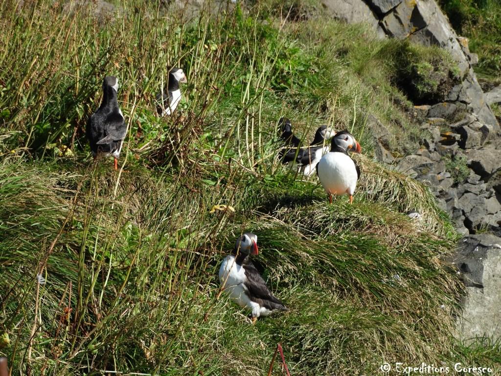 Les animaux des falaises islandaises
