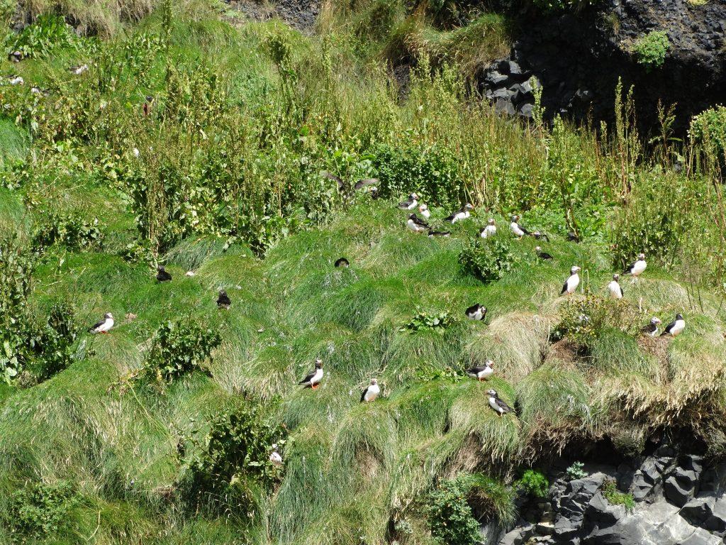 Macareux dans les fjords de l'est