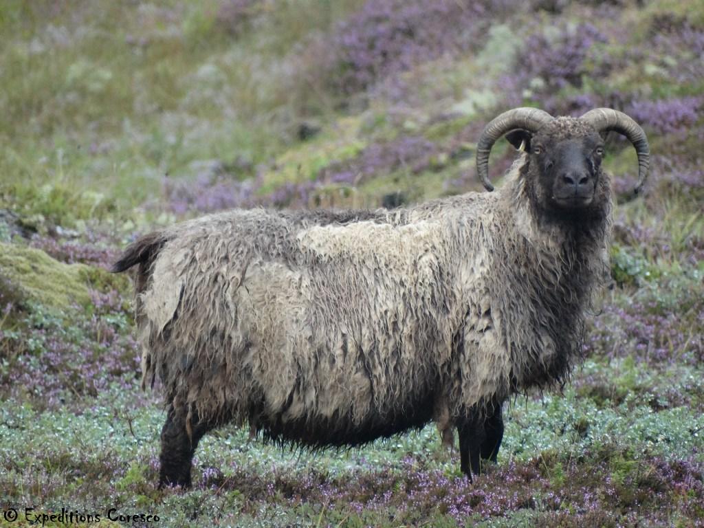 Ne pas chercher d'ennuis à un mouton islandais