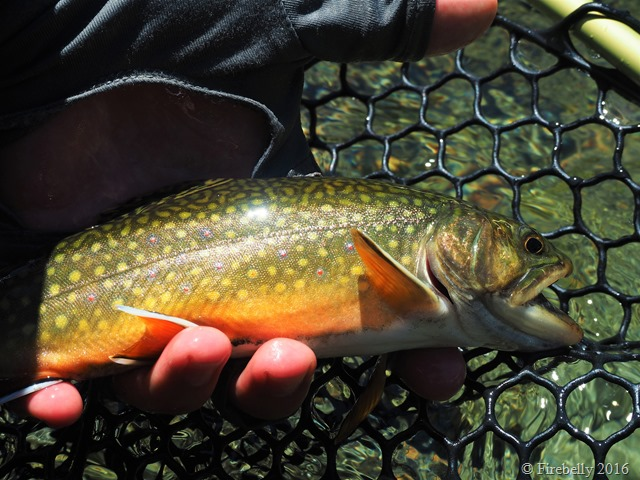Brook trout from the pool shown before