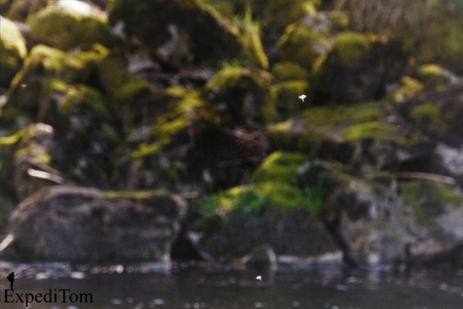 How many mayflies do you spot?