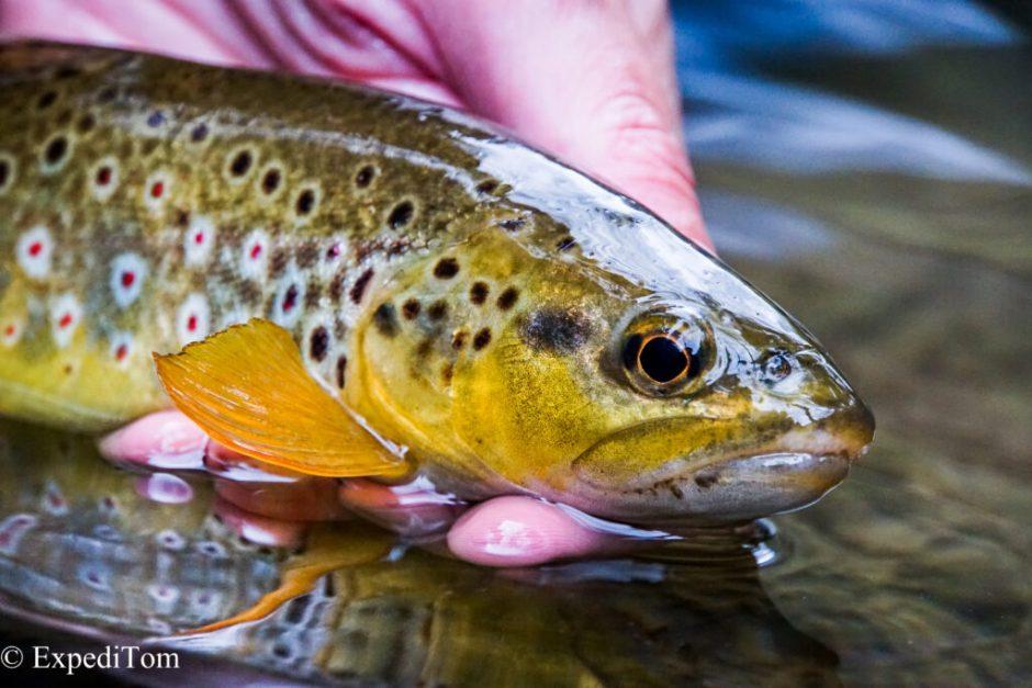 Georgous trout from the Bernese Jura in Switzerland