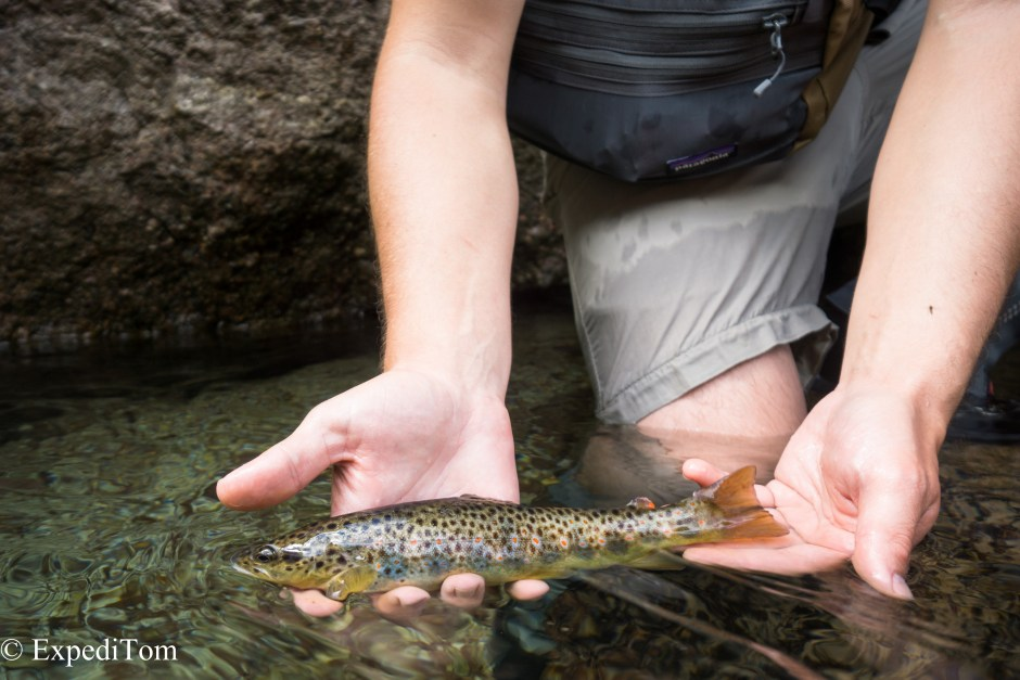 Lovely fish from the waterfall pool while fly fishing the canton Glarus in Switzerland