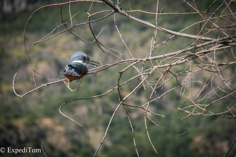 Chilean Kingfisher - martín pescador