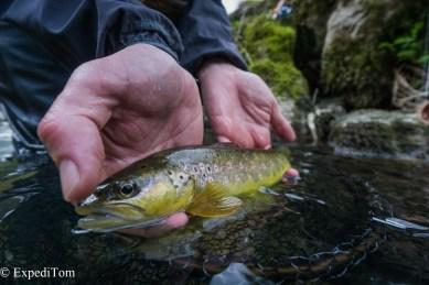 Fly fishing in Switzerland for brown trout (salmo trutta fario)