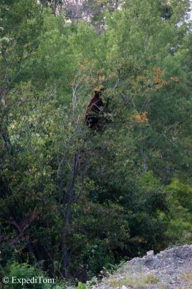 Black bear climbing to forage on a tree