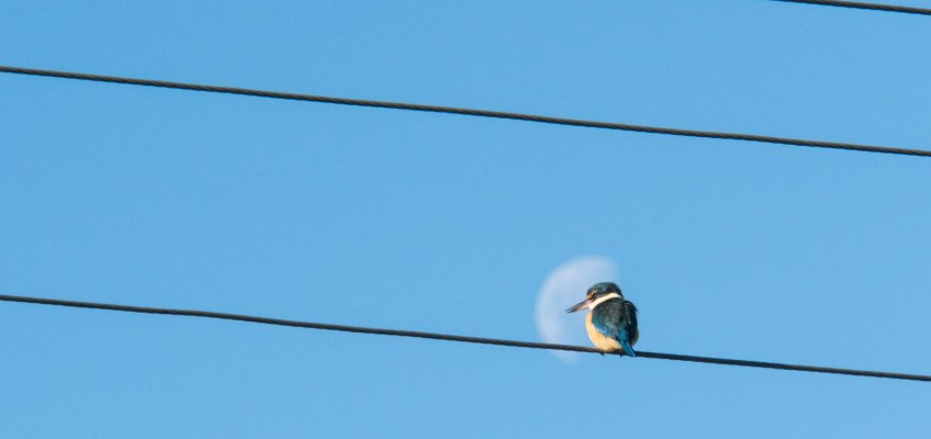Kingfisher in the moon