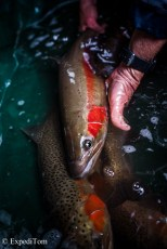 Massively colourful rainbow trout in the trap