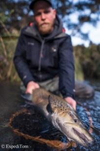 Massive brown trout