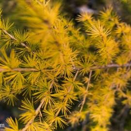 Swiss Autumn in the Calanca Valley: Larchophil