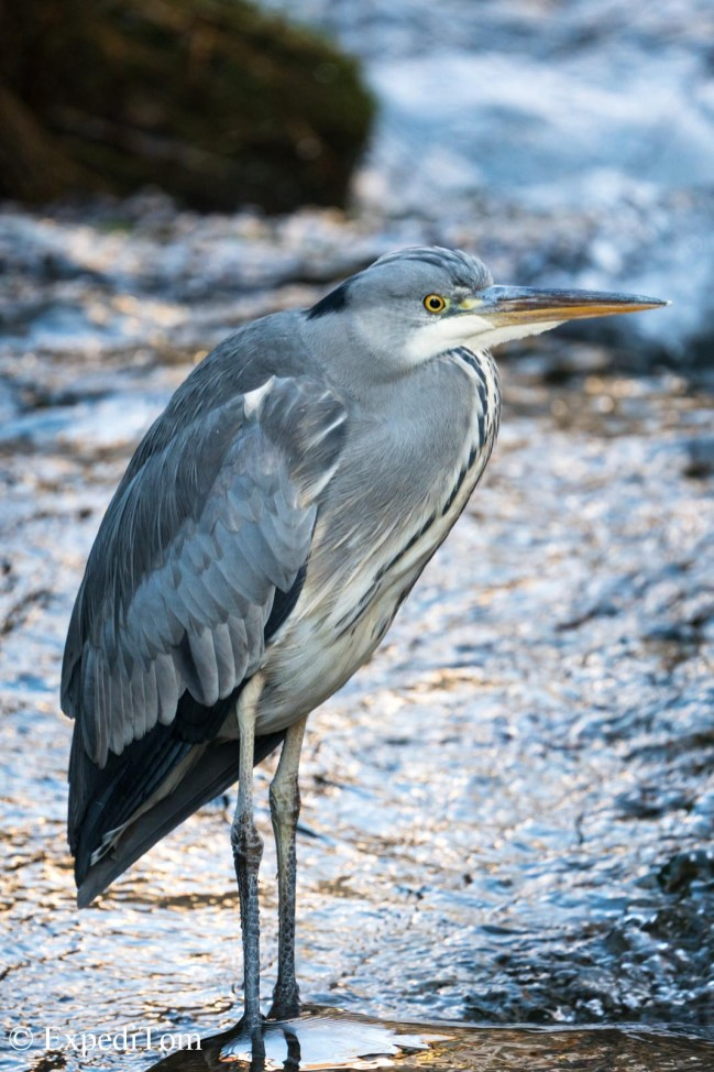 Grey heron from the nearby creek