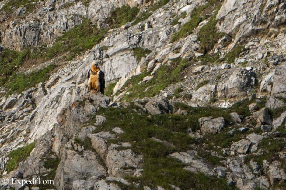 The bearded vulture - critically endangered and only about 40 individuals remaining